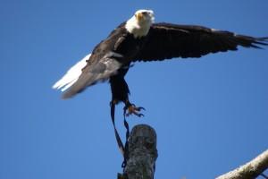 Weisskopfadler im Anflug